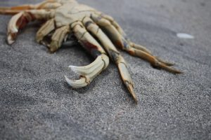Dungeness Crab in Cape Scott Park